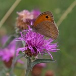 Meadow Brown on Greater Napweed, Picos de Europa, by Ian Monro