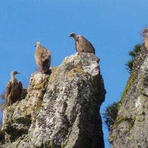 Vultures in Navarra