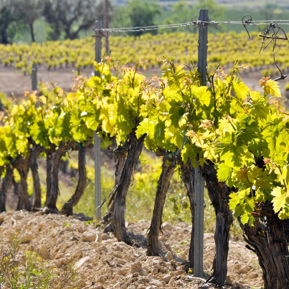 Vines, Ribero de Duero