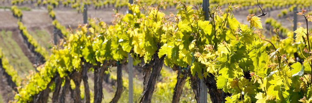 Photo of vines in la Rioja